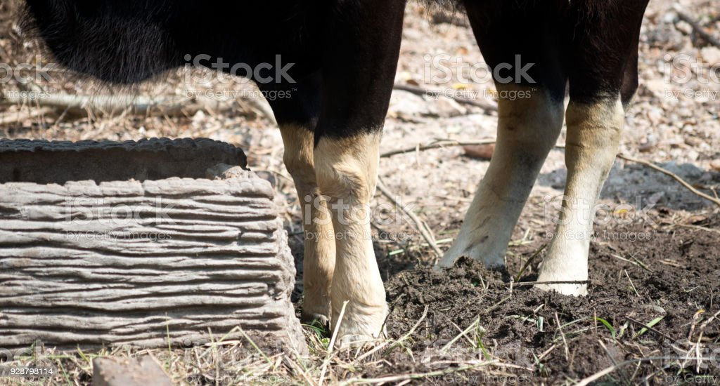 Buffalo legs stock photo