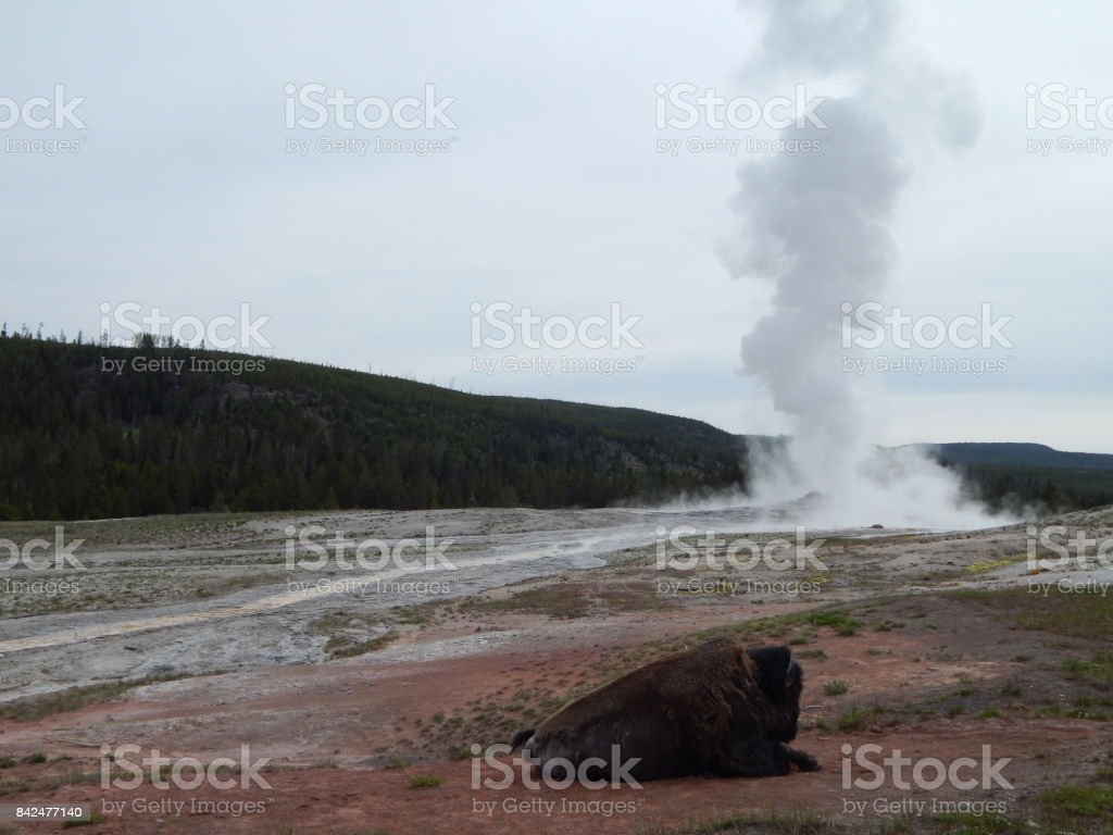 Buffalo listening to the sweet music of a geyser stock photo
