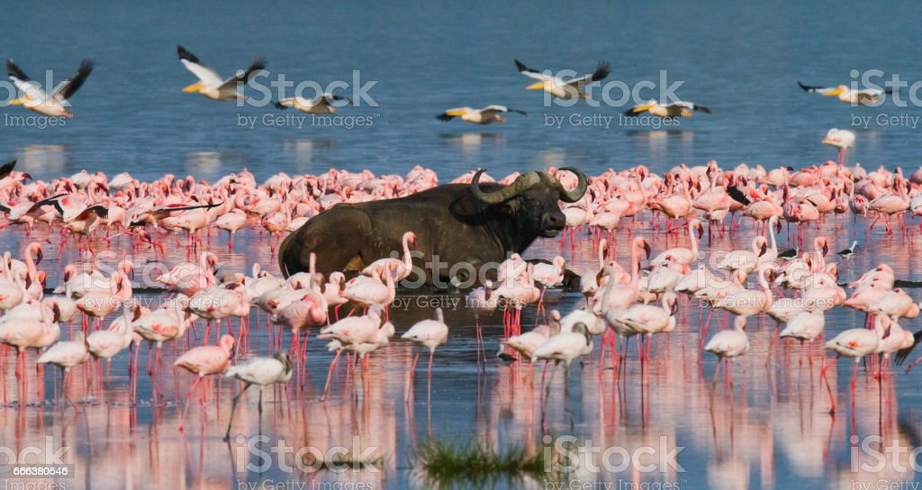 Buffalo lying in the water on the background of big flocks of flamingos. stock photo