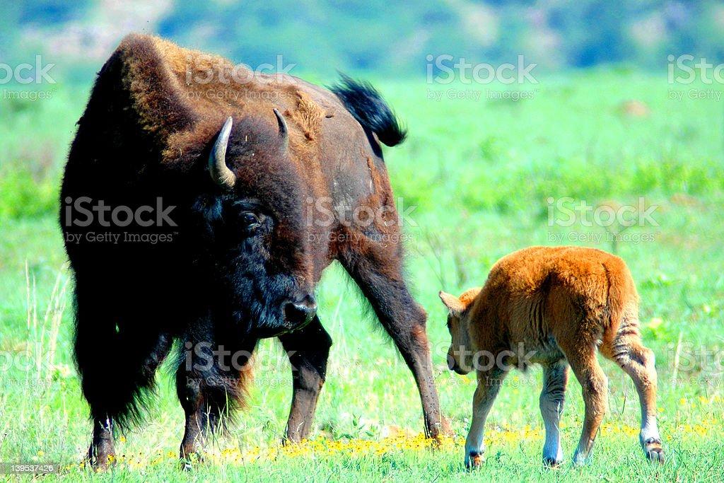 Buffalo Mom royalty-free stock photo