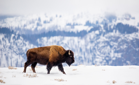 American Bison (Bos bison) on a mountain ridge in winter snow. Yellowstone National Park, Wyoming