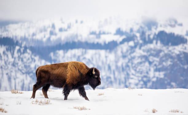 Buffalo on a Mountain Ridge in Winter stock photo
