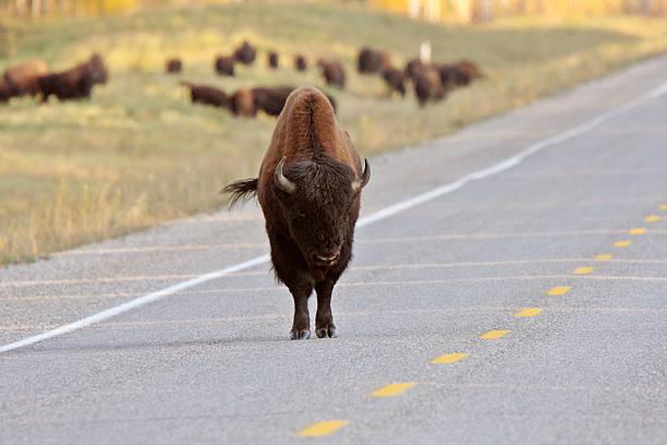 Buffalo on Alaska Highway stock photo
