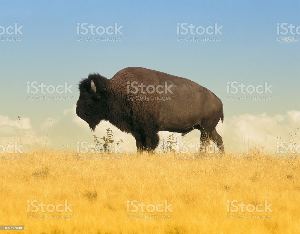 Buffalo on Amber Waves of Grain royalty-free stock photo