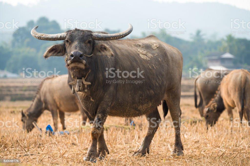 Buffalo on field stock photo