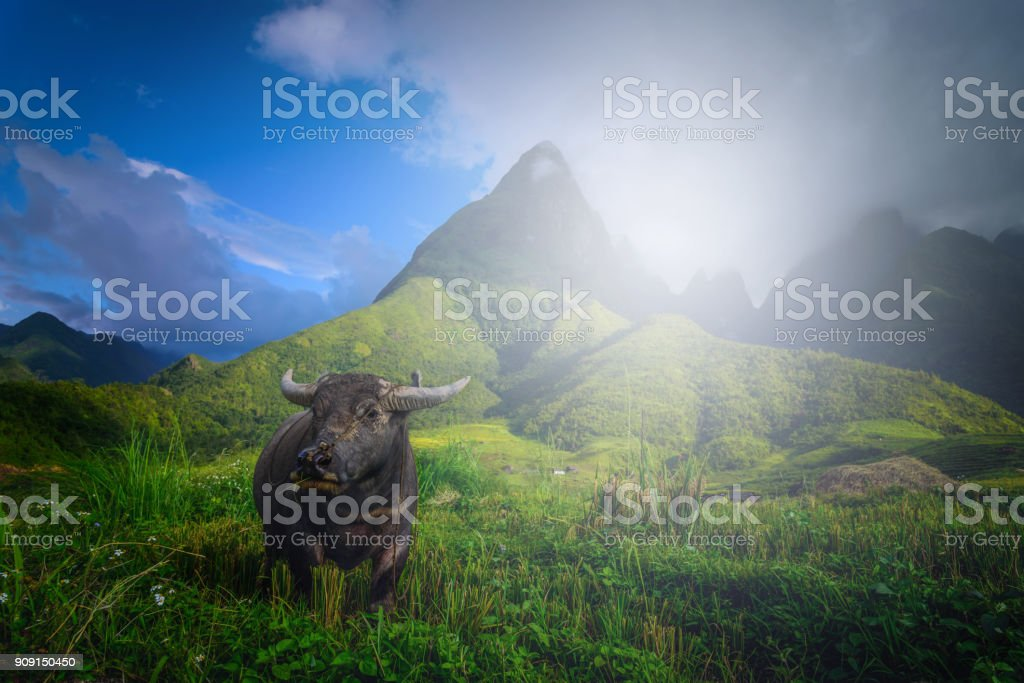 Buffalo on rice fields on terraced with Mount Fansipan background at sunset in Lao Cai, Northern Vietnam. Fansipan is a mountain in Vietnam, the highest in Indochina. stock photo
