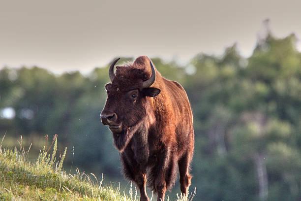 Buffalo on side of hill stock photo