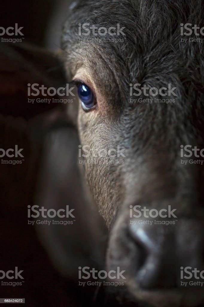 Buffalo on the farm stock photo