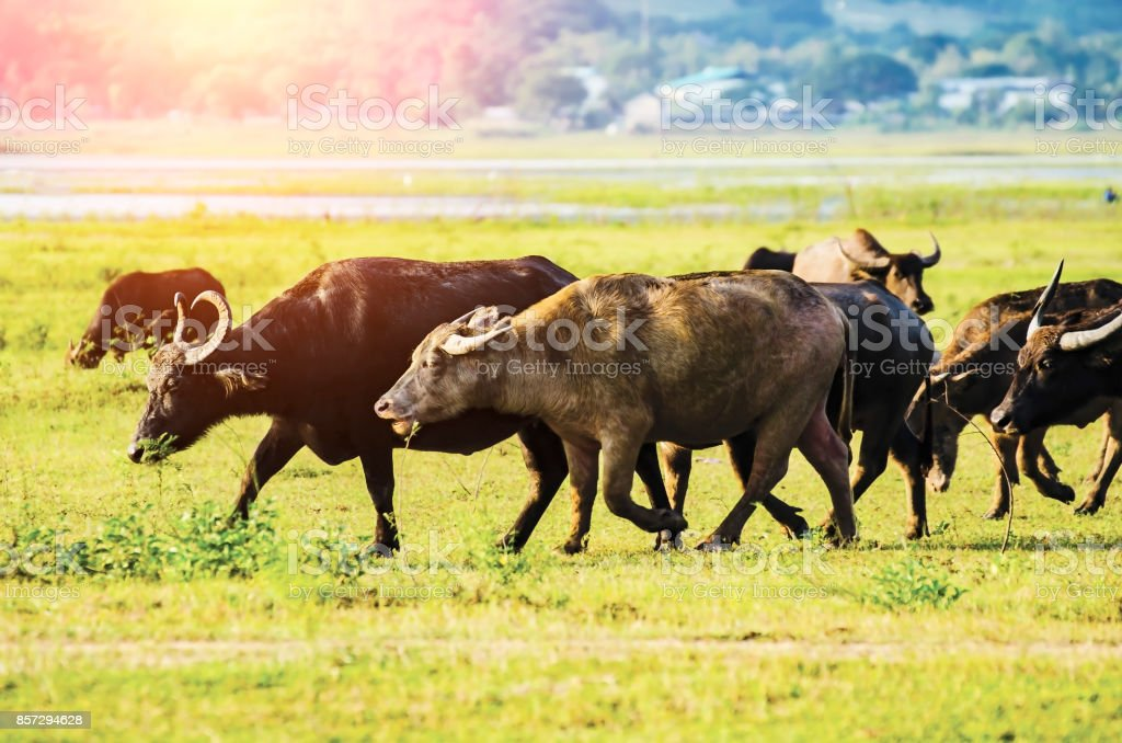 Buffalo on the lawn Mountainside stock photo