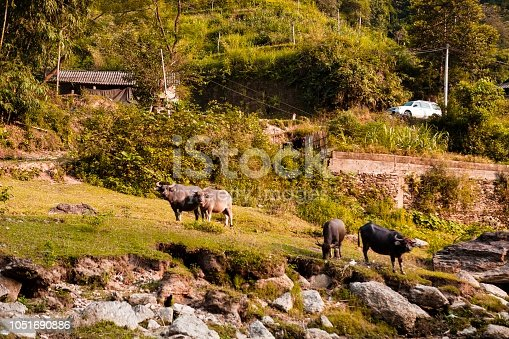 Buffalo on the river Ha Giang, Vietnam. Discovery Vietnam beautiful