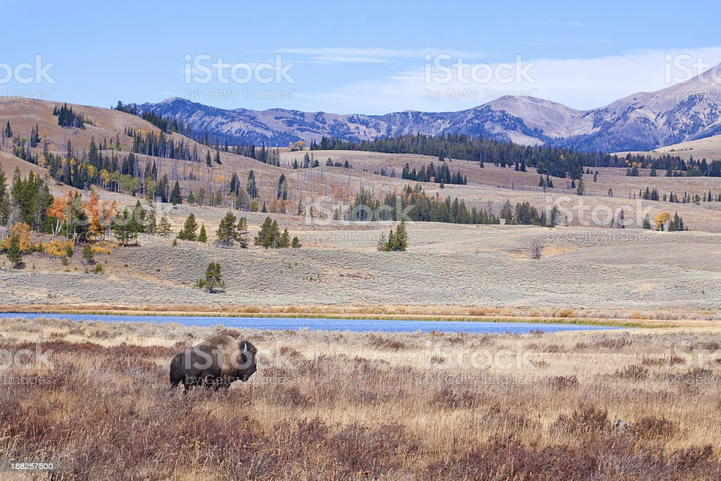 Buffalo or Bison and Wilderness in Yellowstone stock photo
