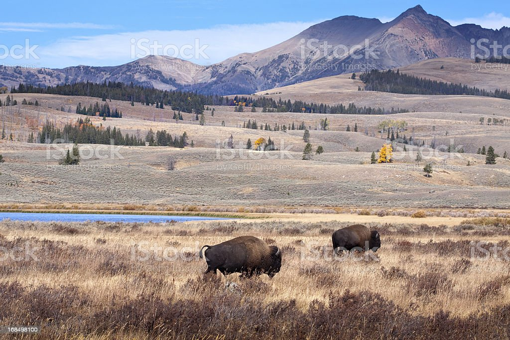 Buffalo or Bison and Wilderness in Yellowstone royalty-free stock photo