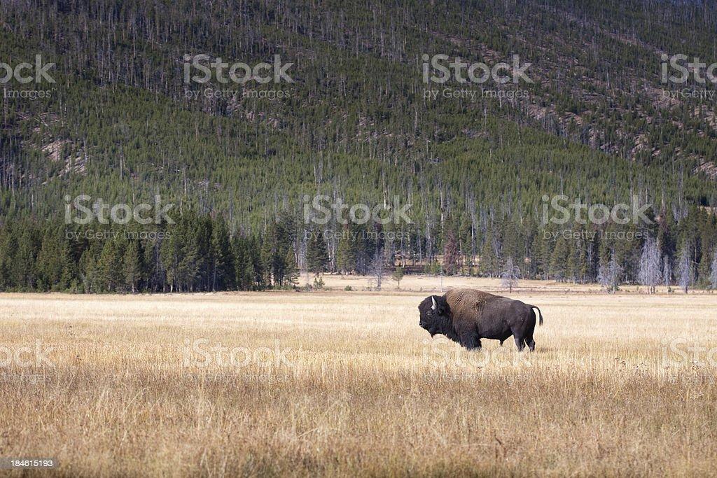 Buffalo oder Bison und Wildnis im Yellowstone – Foto