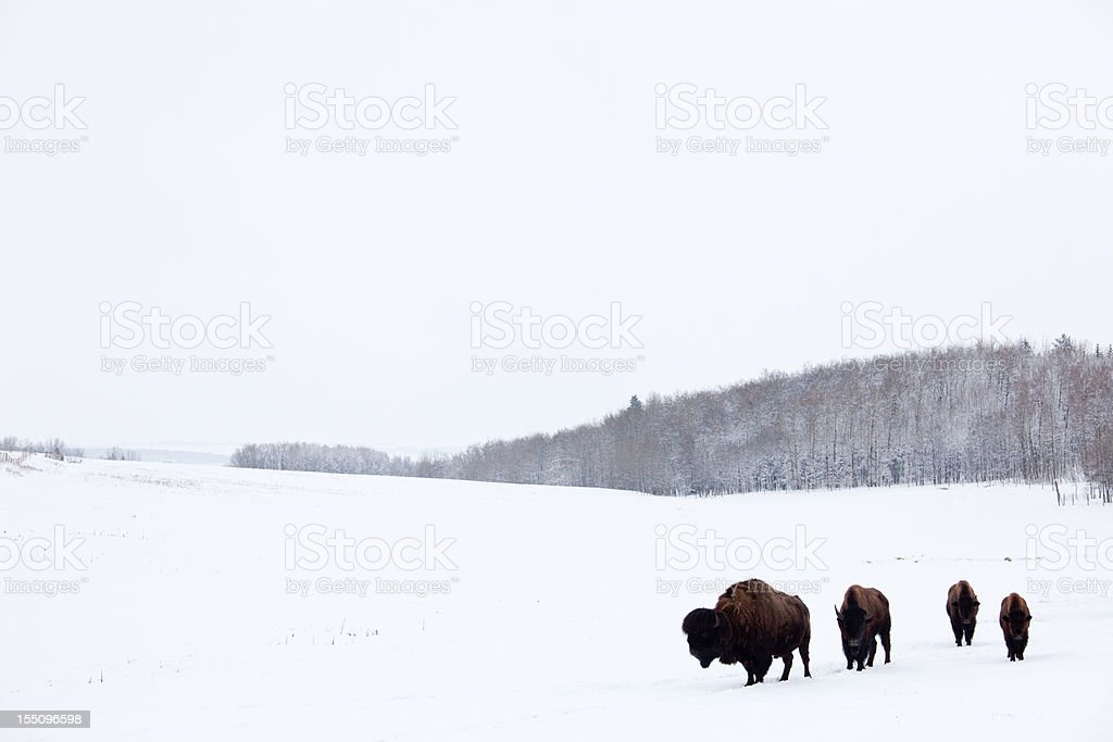 Buffalo or Bison on the Plains in Winter stock photo