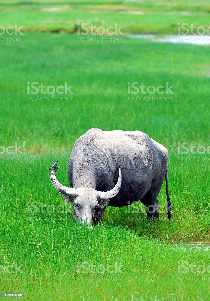 Buffalo royalty-free stock photo