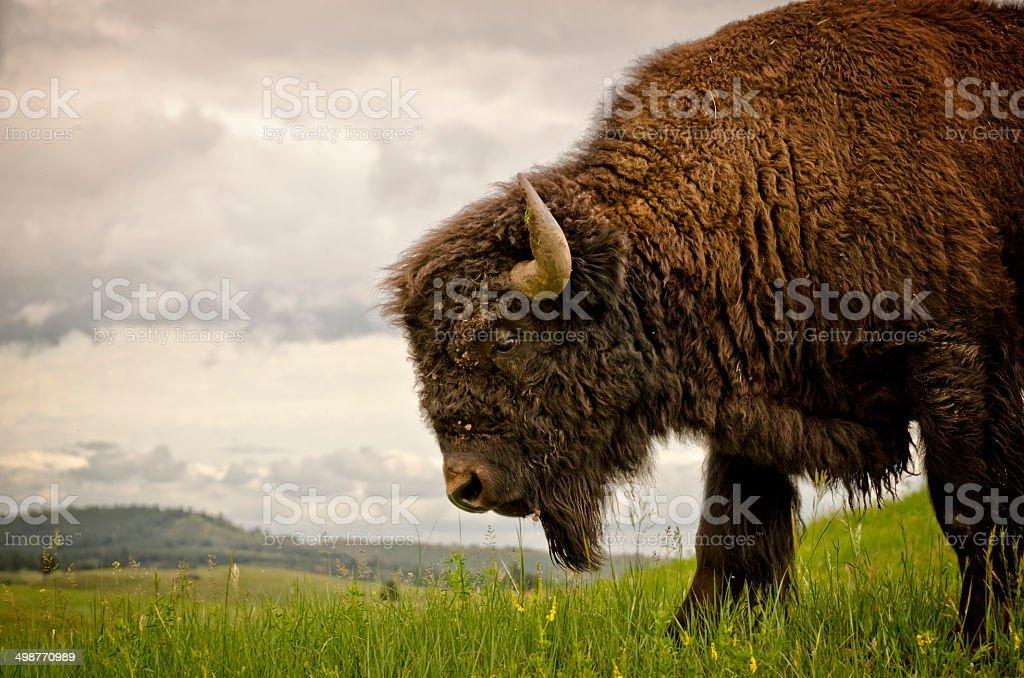 Buffalo (American Bison) stock photo
