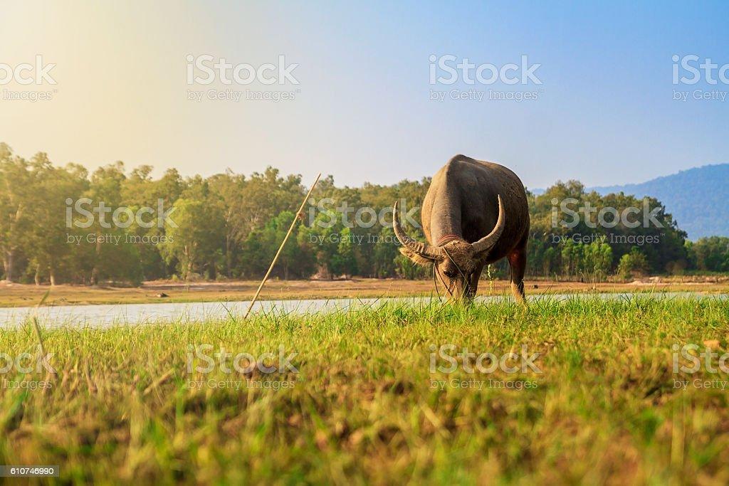 Buffalo  - foto stock