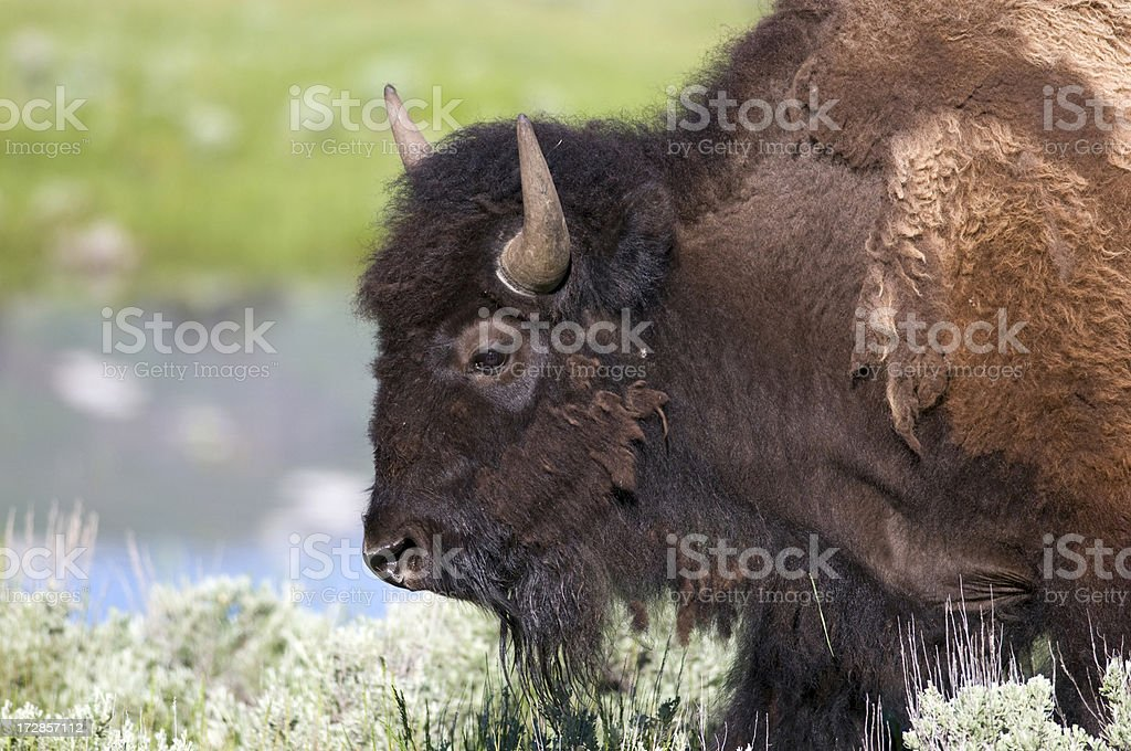 Buffalo (Bison bison')  Portrait stock photo