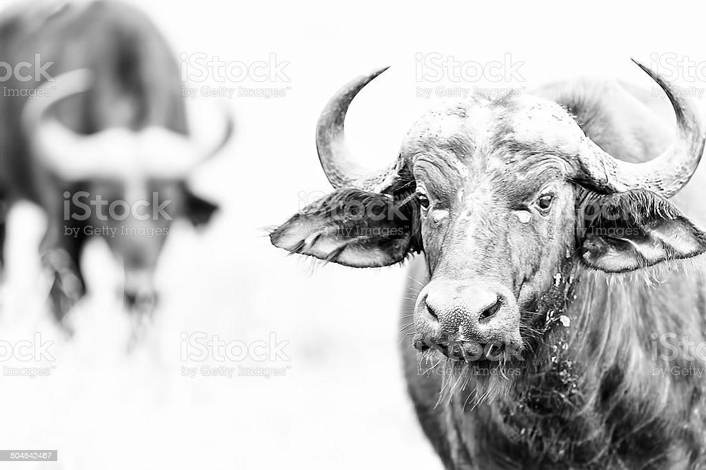 Ritratto di bufalo - foto stock