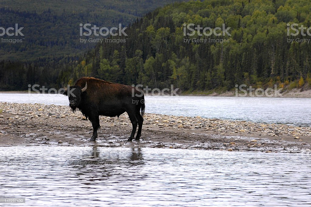 Buffalo reflection royalty-free stock photo