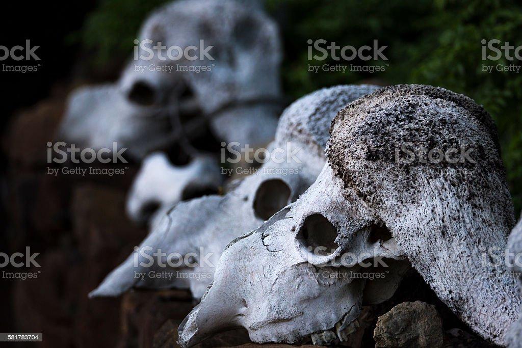 buffalo scull stock photo