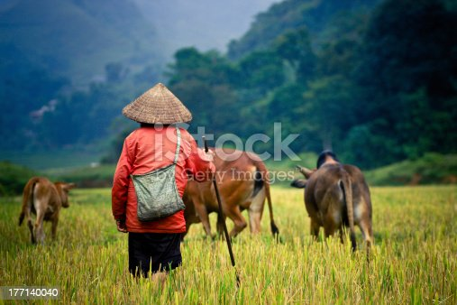 istock Buffalo shepherd on the rice field 177140040