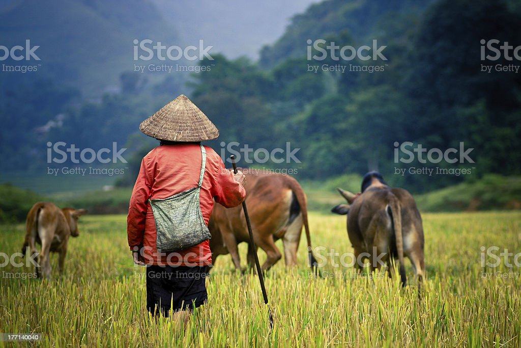 Buffalo shepherd on the rice field stock photo