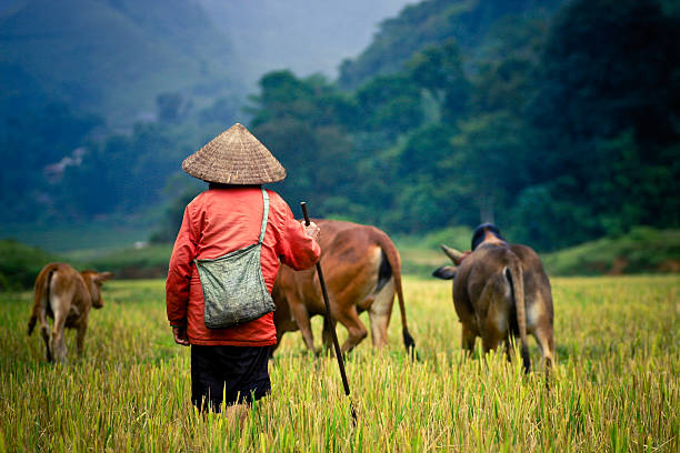 buffalo shepherd im reisfeld - laos stock-fotos und bilder