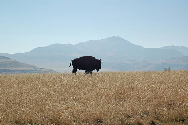 buffalo silhouette - great plains stock photos and pictures