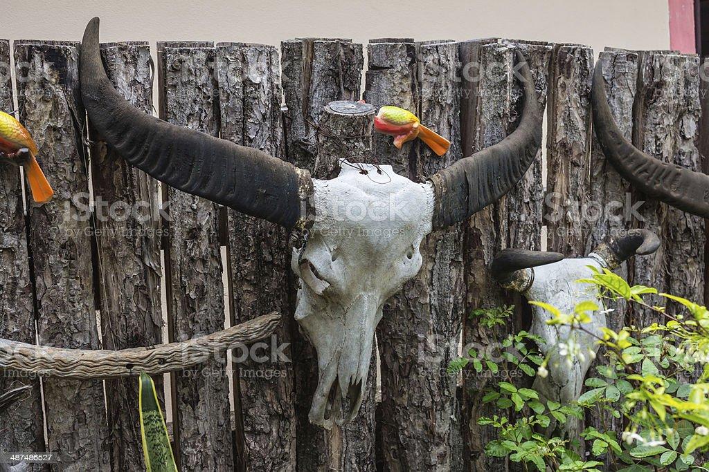 Buffalo skull hanging on the wall. royalty-free stock photo