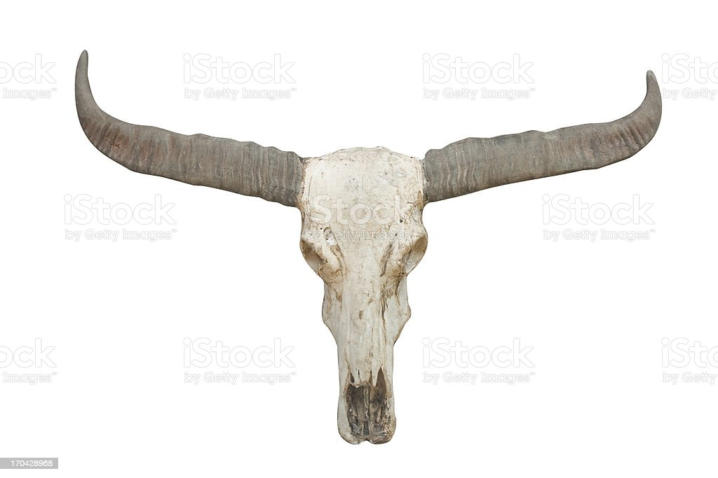 buffalo skull on isolated. stock photo