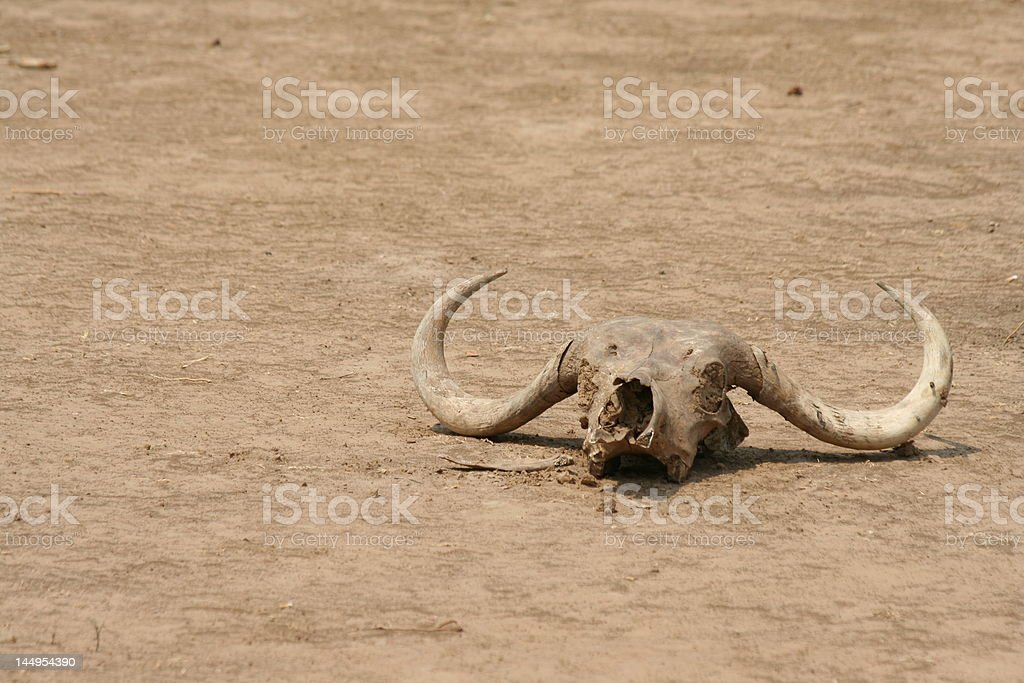Buffalo skull royalty-free stock photo