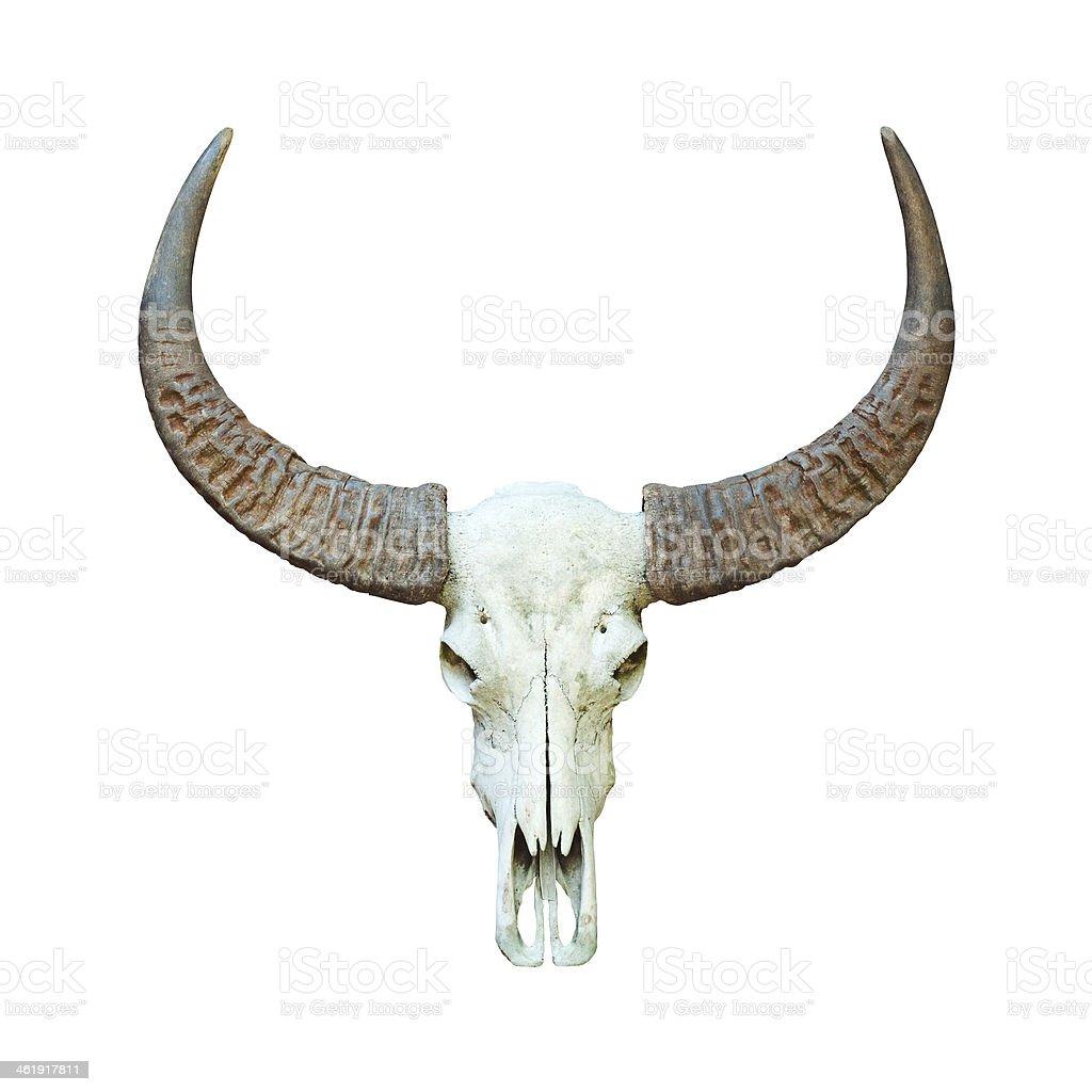 Fotografía de Buffalo Cráneo y más banco de imágenes de Anatomía ...