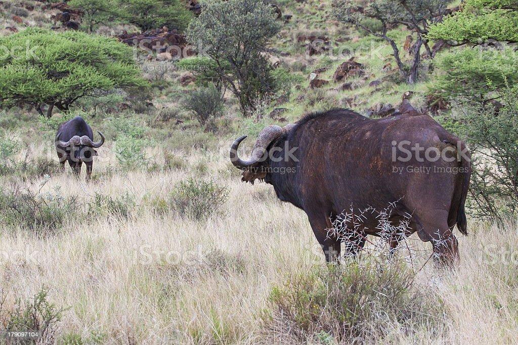 Buffalo Stand-off stock photo