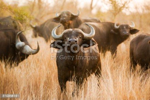 A buffalo looks right into the camera