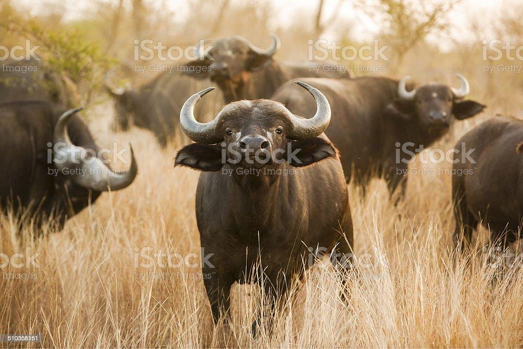 Buffalo stare stock photo
