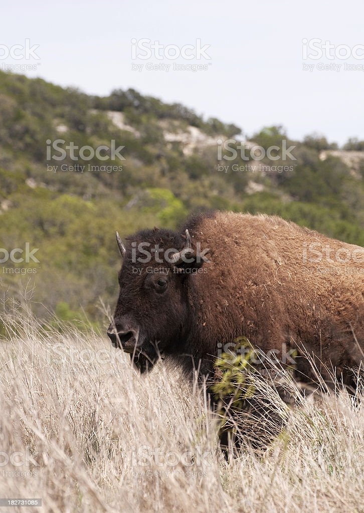 Buffalo surrounded by prairie grass royalty-free stock photo