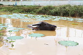 buffalo swimming in the Lotus pond
