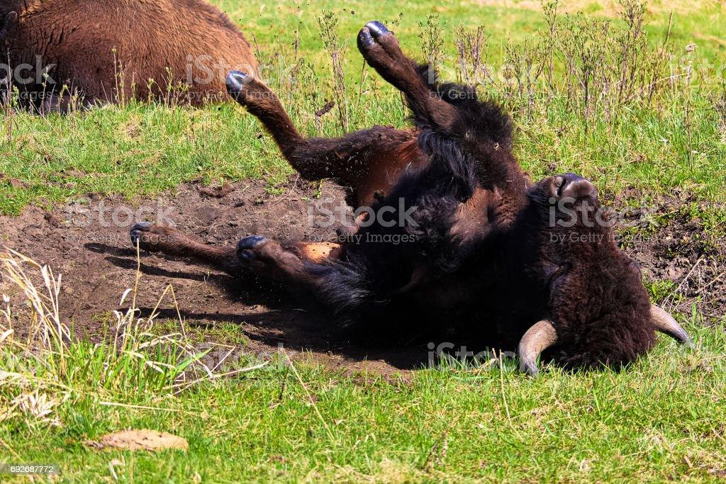 A buffalo taking a dust bath stock photo