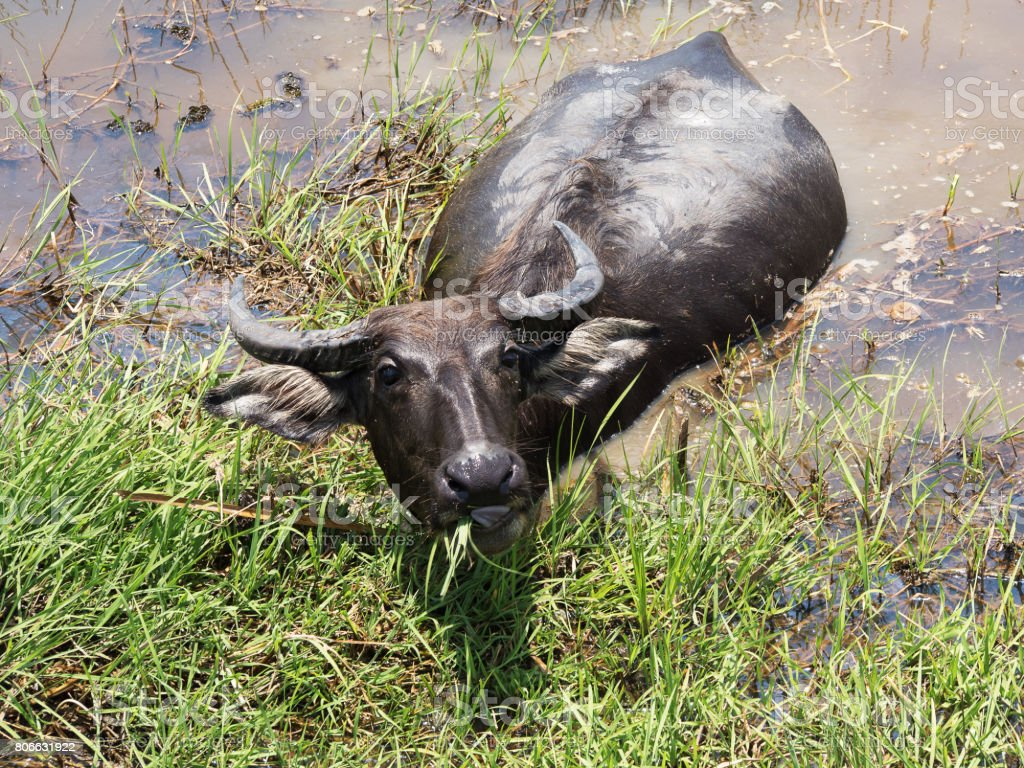 Buffalo. Thai Water Buffalo animal grazing in marshy swamp area in upcountry. stock photo
