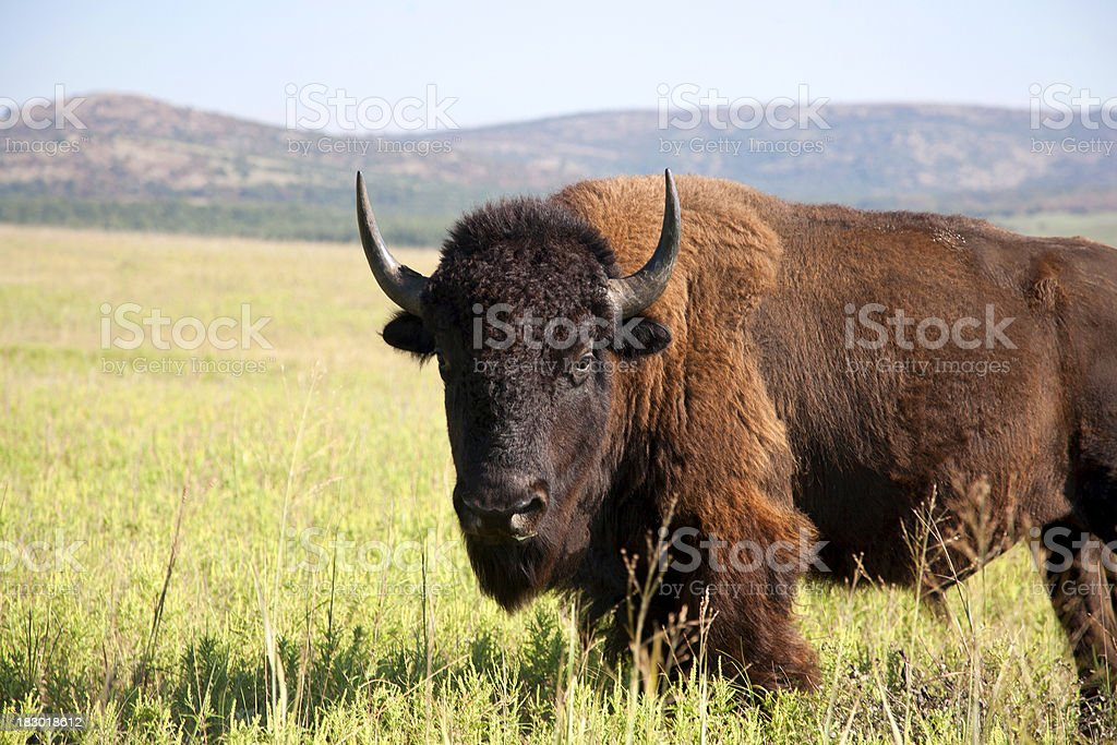 Buffalo the American Bison royalty-free stock photo