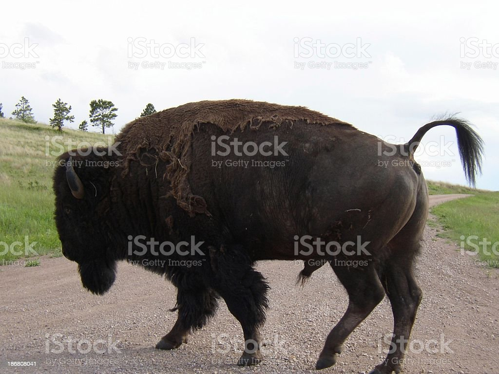Buffalo - Too Close!! royalty-free stock photo