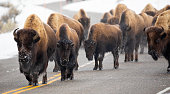 American Bison (Bos bison, Bison bison) wlaking along a road in Yellowstone National Park, Wyoming