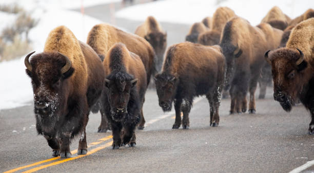 Buffalo Walking on a Road in Yellowstone stock photo
