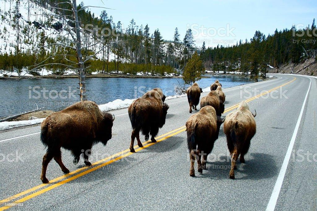 Buffalo walking on a road next to a lake royalty-free stock photo