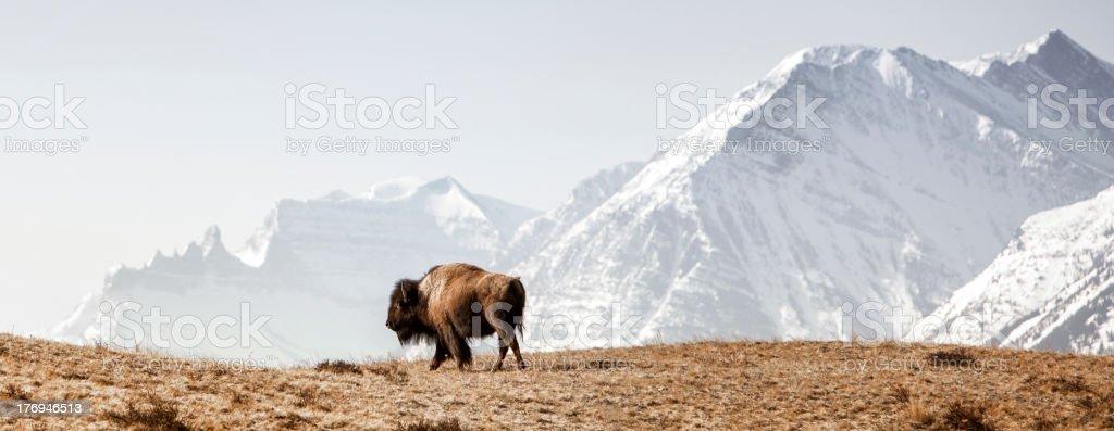Buffalo (American Bison) walks along grassy slope stock photo