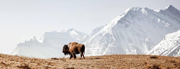 Buffalo (American Bison) walks along grassy slope bildbanksfoto