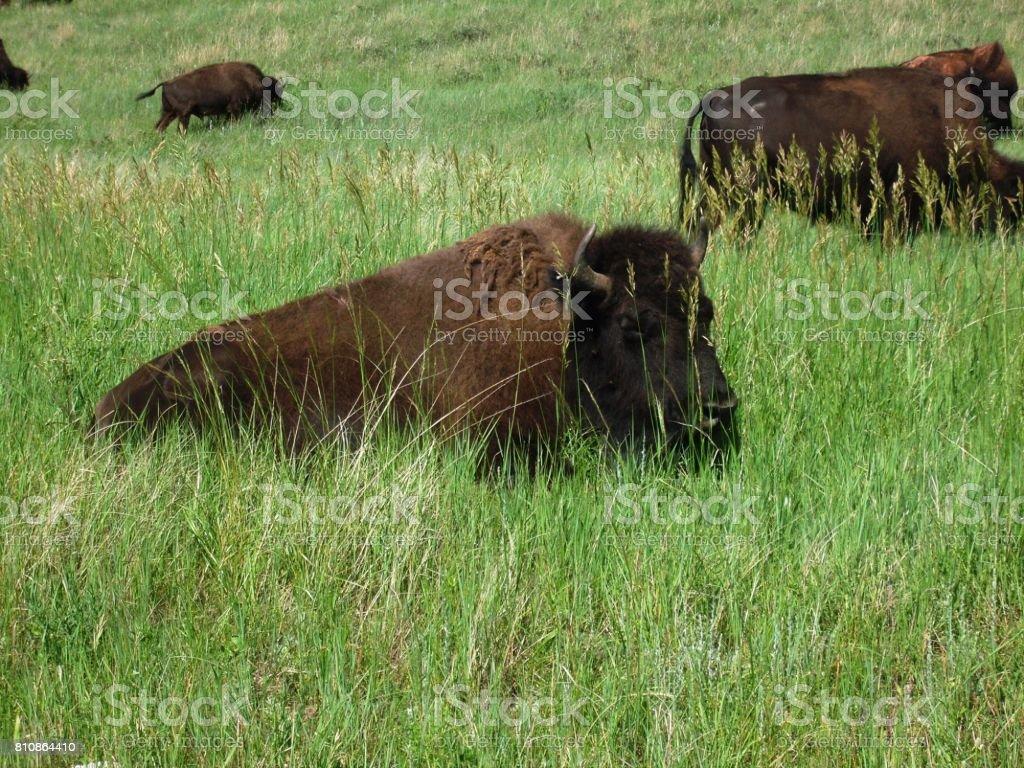 Buffalo with calves stock photo