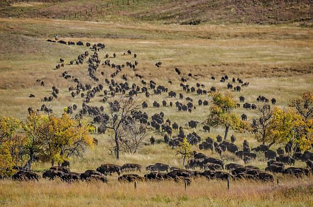 Buffalo/Bison bildbanksfoto