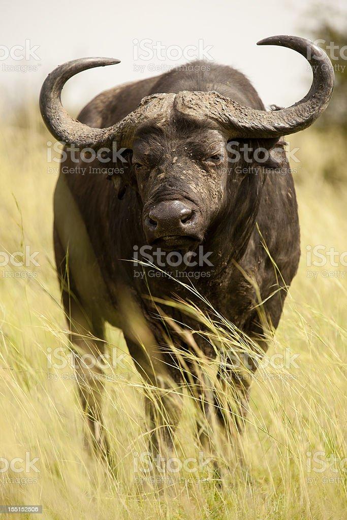 Buffaloe in Murchison Falls National Park-portrait stock photo